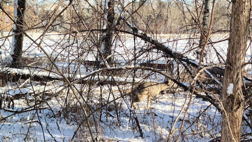 Deer Pooping in the Woods